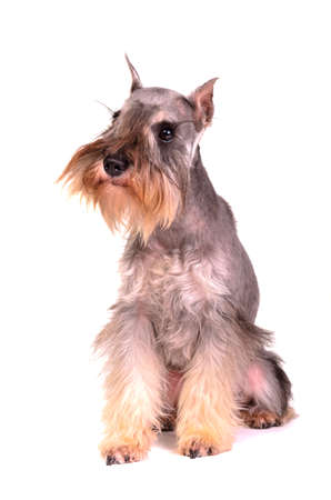 miniature dog: Miniature schnauzer sitting, isolated on white background