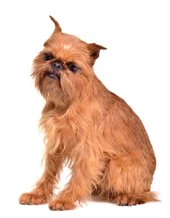 brussels griffon: Griffon Bruxellois portrait against white background Stock Photo