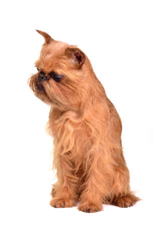 brussels griffon: Sitting Brussels Griffon puppy isolated on white background