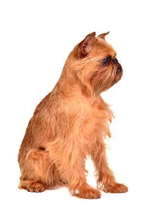 brussels griffon: Dog of Griffon Bruxellois breed, studio shot Stock Photo