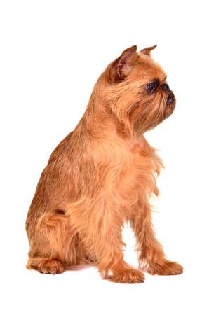 griffon bruxellois: Dog of Griffon Bruxellois breed, studio shot Stock Photo