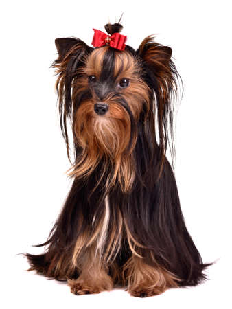 bitch: Adorable Yorkshire Terrier girl, isolated on white background Stock Photo