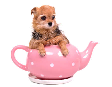 Tiny puppy inside the tea pot, studio shot photo