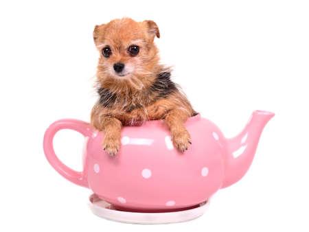 perro asustado: Escondite lindo perro dentro de la olla de té de color rosa, aisladas sobre fondo blanco