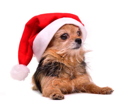 Christmas dog wearing red Santa hat, isolated on white background