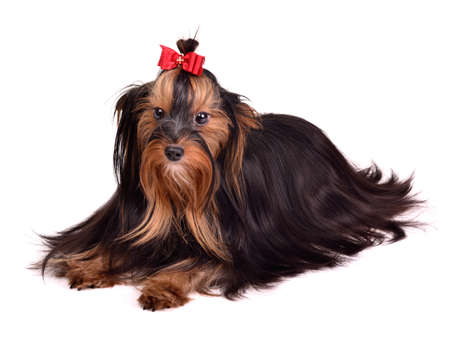 silky terrier: Beautiful Yorkshire Terrier against white background