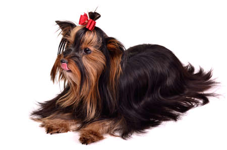 silky terrier: Precious dog of Torkshire Terrier breed