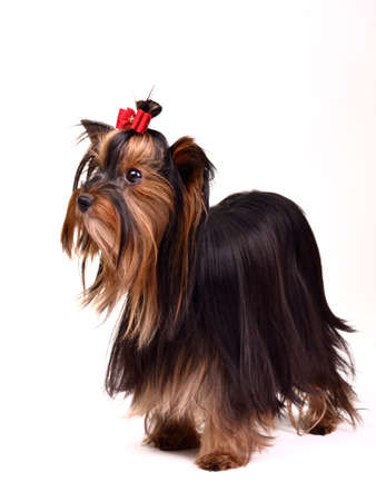 silky terrier: Precious long haired Yorkshire Terrier Stock Photo