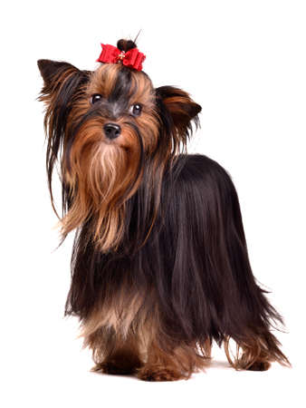 long silky hair: Beautiful Yorkshire Terrier, isolated on white background