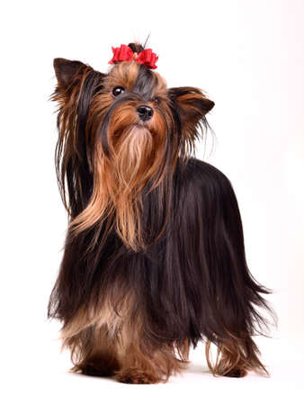 silky terrier: Playful Yorkshire Terrier