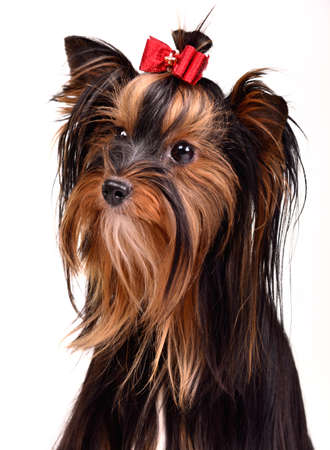 Splendid yorkshire terrier portrait, isolated photo