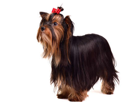 Yorkshire Terrier standing, against white background photo