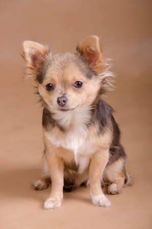 dwarfish: Portrait of a tiny Chihuahua puppy of light brown background Stock Photo