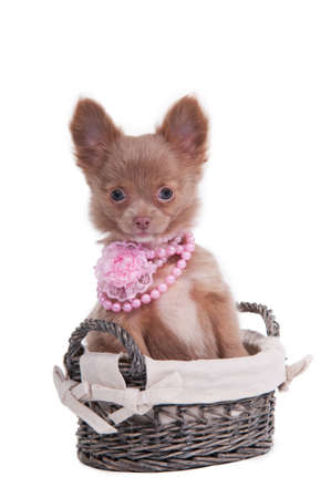 Tiny Chihuahua female puppy with pink beads sitting in a handmade basket photo