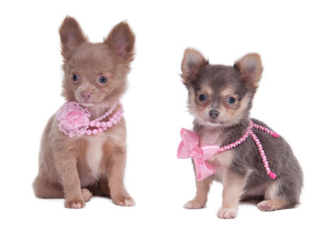 Two female Chihuahua puppies wearing pink beads isolated on white background photo