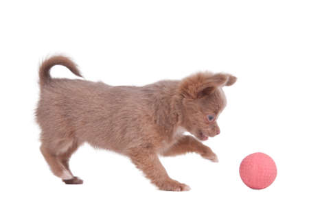 chiwawa: Chihuahua puppy is playing with a pink ball, isolated on white background Stock Photo