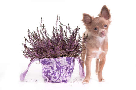 Chihuahua puppy is standing next to a lavender flower pot isolated on white background photo