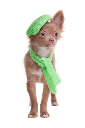 Chihuahua puppy with green beret and scarf isolated on white background photo