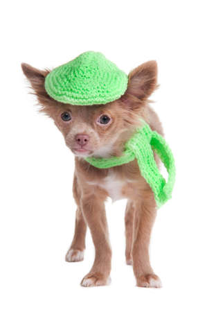 French looking chihuhua puppy with cap and scarf isolated photo