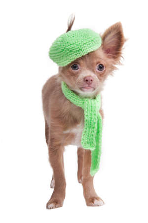 Chihuahua puppy with french cap and scarf photo