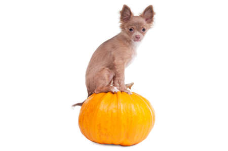 Chihuahua puppy sitting on a pumpkin and looking aside photo