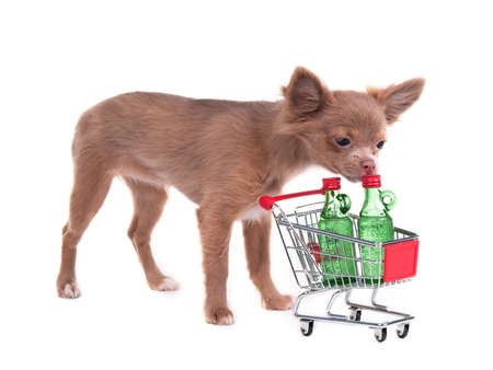 Chihuahua puppy checking its shopping cart, isolated on white background photo