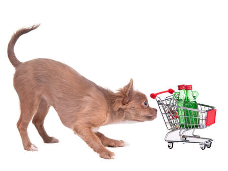 Chihuahua puppy with shopping cart bying two bottles of alcohol, isolated on white background photo