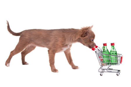 Chihuahua puppy pushing a shopping cart with two bottles of alcohol, isolated on white background photo
