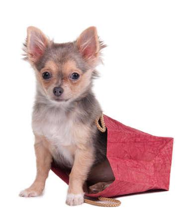 dog days: Chihuahua cachorro se esconde en el bolso de compras rojo aislado en blanco