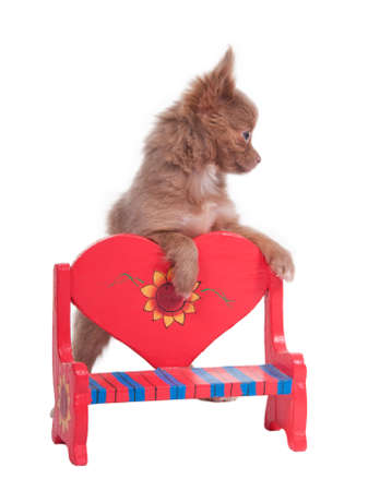 Tiny Chihuahua stepping on a romantic red heart-shaped bench photo