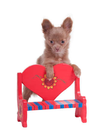 dwarfish: Chihuahua Puppy Leaningn on the back of Red Heart-Shaped Wooden Bench Stock Photo