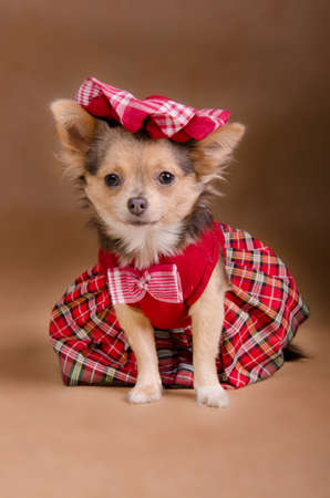 Chihuahua puppy wearing red chequered dress and cap isolated photo