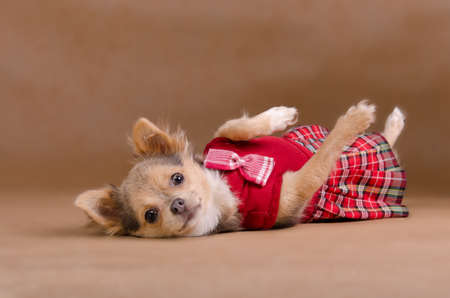 chihuahua pup: Chihuahua puppy wearing red kilt lying on its back isolated on baige background Stock Photo