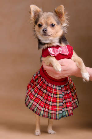 Chihuahua puppy wearing elegant scottish dress isolated photo