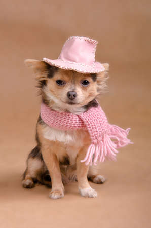 Chihuahua puppy dressed as detective - with pink hat and scarf photo