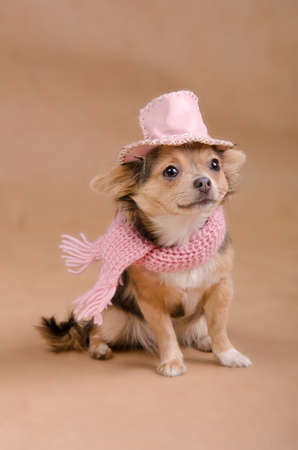 dwarfish: Chihuahua puppy detective dressed with pink hat and scarf Stock Photo