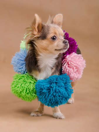 Chihuahua puppy wearing colorful scarf with pompons isolated Stock Photo - 11693892
