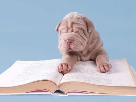 Sharpei puppy is reading a book isolated on blue background. photo
