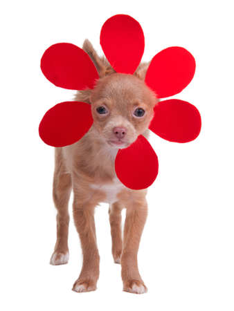 chiwawa: Little chihuahua puppy dressing like a flower isolated on white background Stock Photo