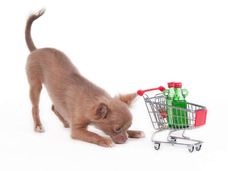 Chihuahua puppy playing with shopping cart, isolated on white background photo