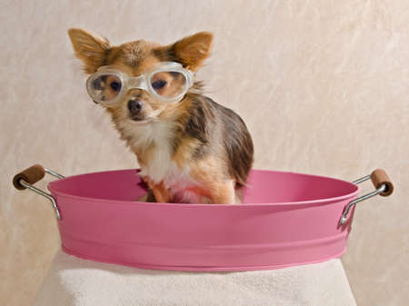 taking shower: Chihuahua puppy taking a bath wearing goggles sitting in pink bathtub Stock Photo