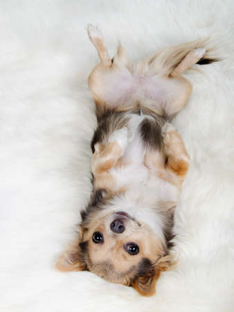 chiwawa: Chihuahua puppy lying on her back on white fluffy fur