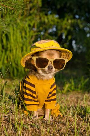 perros vestidos: Chihuahua, vestido con traje, sombrero de paja vasos nad sentado en el jardín de verano