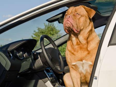 Chien pilote grave - Dogue de Bordeaux assis dans la voiture au lieu du pilote