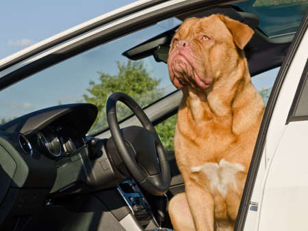 chauffeur: Serious driver dog - Dogue De Bordeaux sitting in the car at driver place Stock Photo