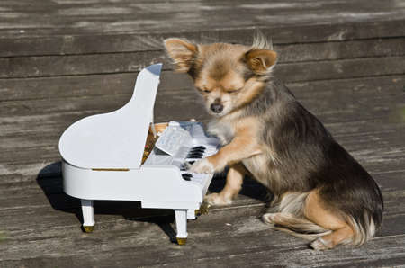 Chihuahua dog is playing on a toy piano on Wooden sunny stage