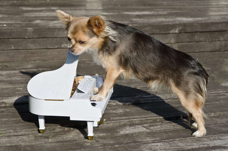Maestro chihuahua dog is playing on piano at sunny wooden  stage  photo