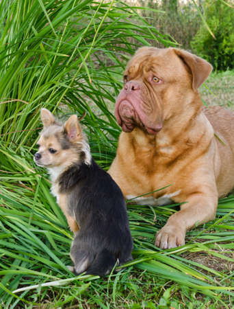 chiwawa: Big and small dogs friends lying on the grass Stock Photo