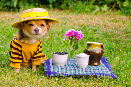 Small dog wearing yellow suit and straw hat relaxing in meadow photo