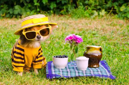 緑の芝生のピクニックでチワワの品種の子犬